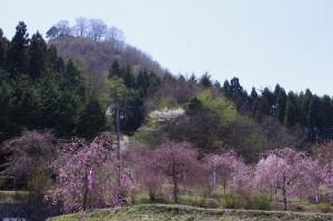 カタクリの里・枝垂れ桜