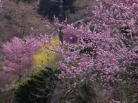 矢納地区高牛の桜と三つ葉ツツジ