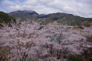 下久保ダム桜