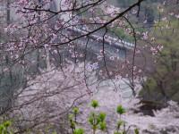 下久保ダム周辺・桜