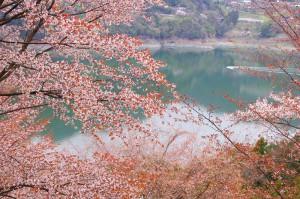 西神山森林公園(神流湖畔)の桜