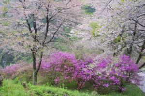 矢納地区高牛の三つ葉ツツジと桜