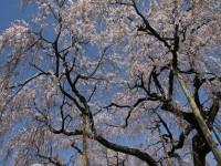 八日市地区・瑞厳寺しだれ桜