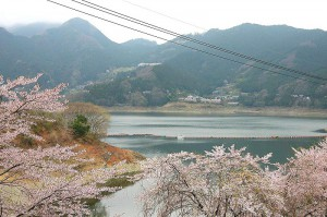 下久保ダム・桜