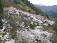 西神山森林公園(神流湖畔)・桜
