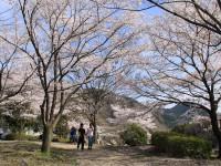 神流川水辺公園・桜