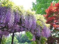 神流川水辺公園・藤の花