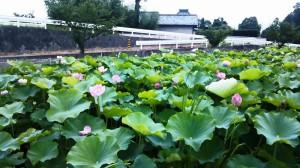 ゆーゆーランド 蓮の花