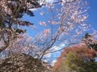 冬桜24.10.29①