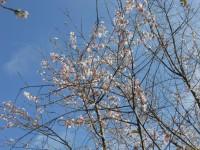 冬桜24.10.25②