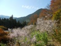冬桜24.11.5①