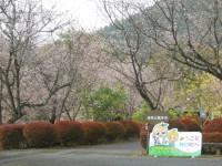 冬桜24.11.13②