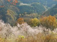 冬桜24.11.20