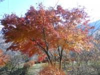 冬桜24.11.28①