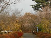 冬桜24.11.29①