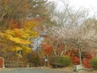 冬桜24.11.29②