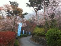 冬桜24.11.6①