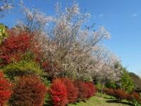 冬桜24.11.8②