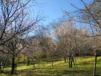 冬桜24.12.6