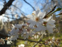 冬桜24.12.6②