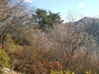 冬桜24.12.10②