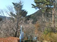 冬桜24.12.10③