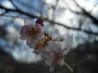 冬桜25.3.5