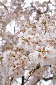 八日市地区・瑞巌寺のしだれ桜