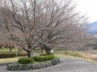 秩父瀬神流パーク・桜