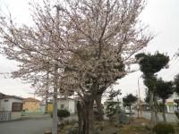 丹荘駅前桜
