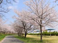 神川ゆ~ゆ~ランド・桜