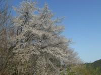 城峯公園桜