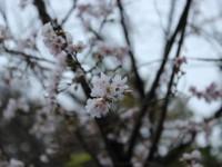 城峯公園冬桜②