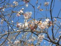 冬桜25.11.28