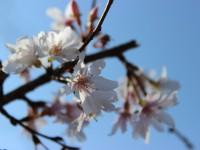 冬桜25.11.18