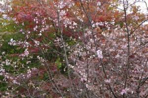 神川城峯公園・冬桜