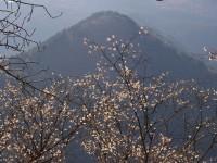 城峯公園・冬桜