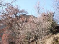 冬桜25.12.6②