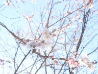 冬桜25.12.2