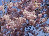 カタクリの里・桜