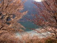 神流湖畔の桜