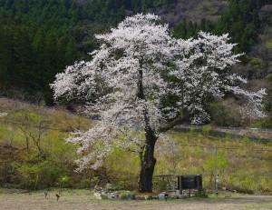 古矢納城(旧下久保コテ-ジ)の桜