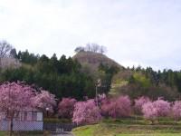 カタクリの里の枝垂れ桜